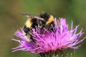 bumblebee-on-top-4844407_1280